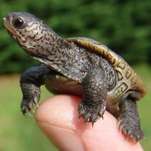 baby_turtle_thumb_300x300